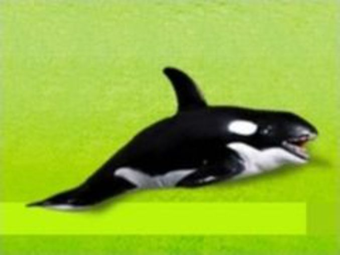 Flipped Out Orca