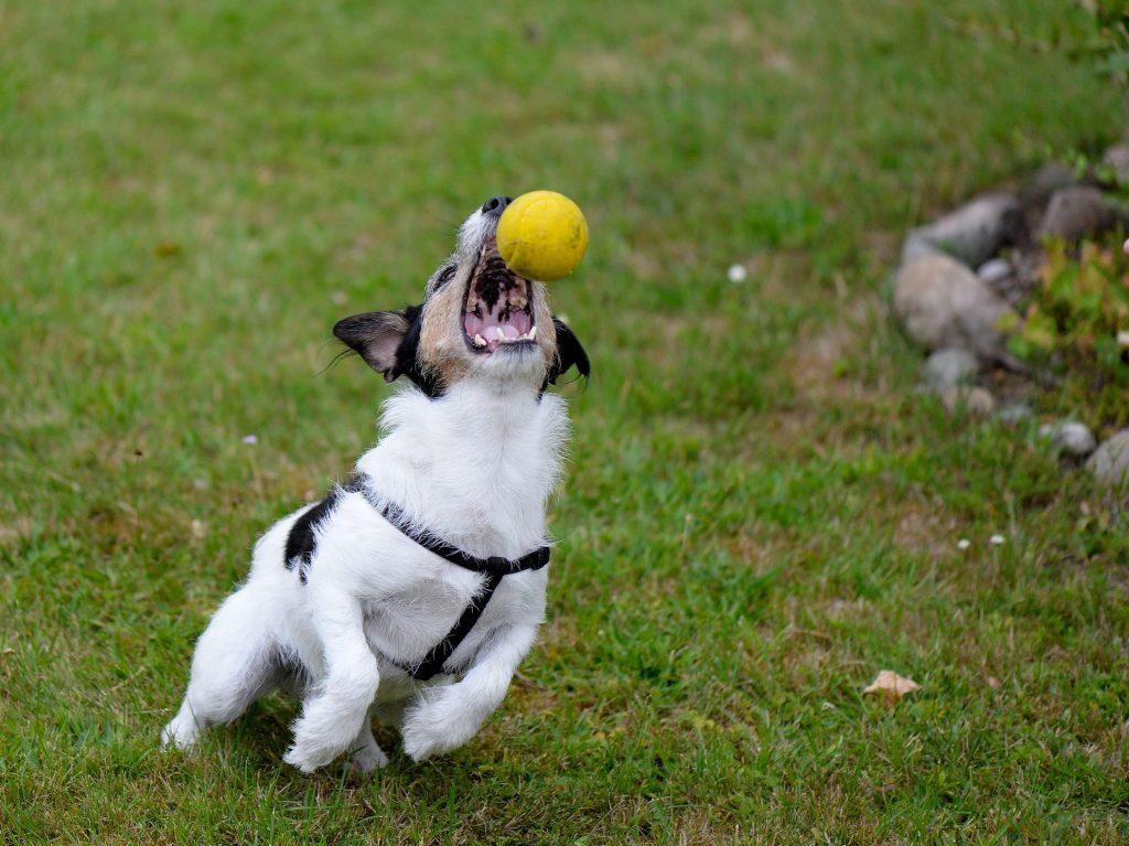 Spielender Hund, Ballfangspiel