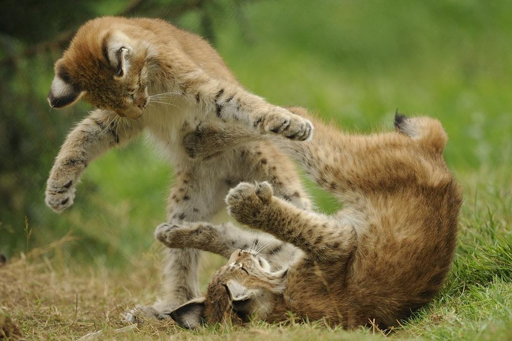 Wildkatzen spielen